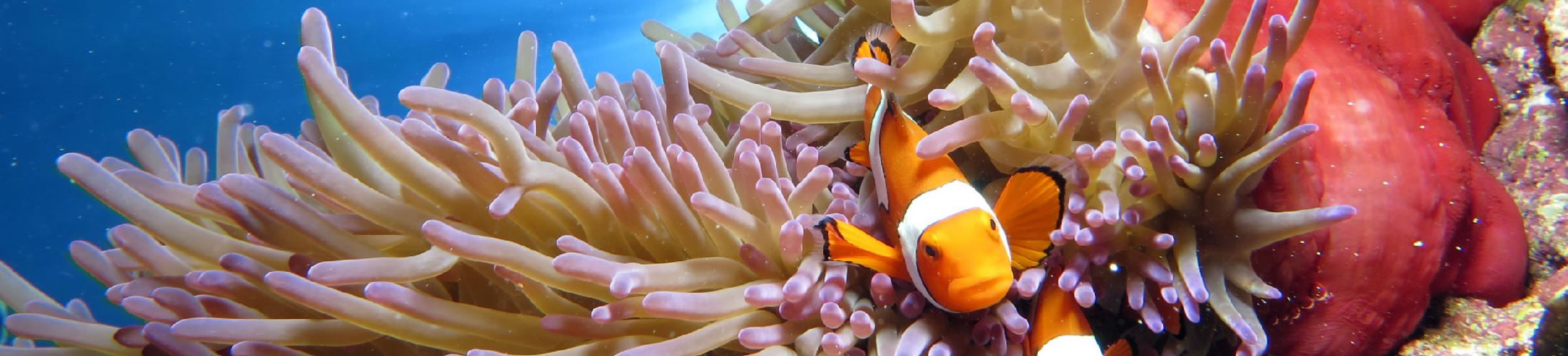 Clownfish with anemone