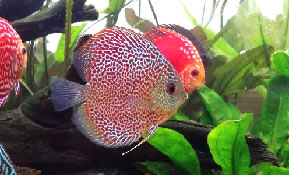 discus zoetwatervis